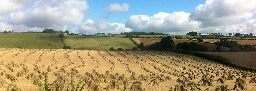 View Of Harvested Stooks of wheat Appledore Park Devon